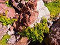 Cryptogramma crispa Corsica.jpg