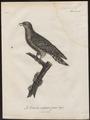 Cuculus canorus - 1796-1808 - Print - Iconographia Zoologica - Special Collections University of Amsterdam - UBA01 IZ18800223.tif