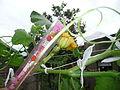 Cucurbita moschata (zapallo espontáneo) flor F06 antesis pétalos rotos después de la lluvia hora1515 regla.JPG