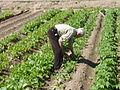 Cultivando rábanos.JPG