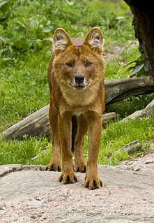 Ussuri dhole subspecies of mammal