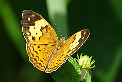 Cupha erymanthis dorsal view 20141005.jpg