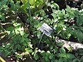 Cuphea micropetala - Jardin Botanique de Lyon - DSC05387.JPG