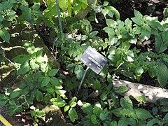 Cuphea micropetala wikipedia la enciclopedia libre - Jardin botanique de lyon ...