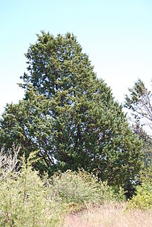 <i>Cupressus guadalupensis</i> Species of conifer