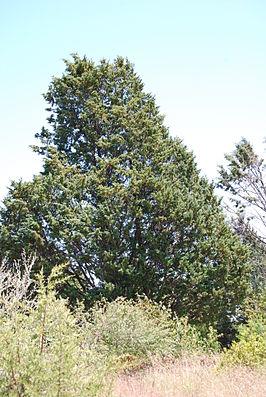 Cupressus guadalupensis.JPG
