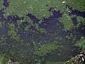 Cyanobacteria 016.jpg