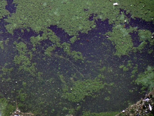 File:Cyanobacteria 016.jpg