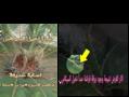 Cycas revoluta rust symptoms.png