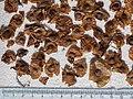 Cyclocarya paliurus seeds, by Omar Hoftun (cropped).jpg