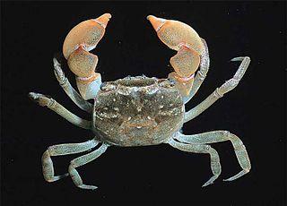 <i>Cyclograpsus</i> genus of crustaceans