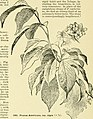 Cyclopedia of American horticulture, comprising suggestions for cultivation of horticultural plants, descriptions of the species of fruits, vegetables, flowers and ornamental plants sold in the United (14763436855).jpg