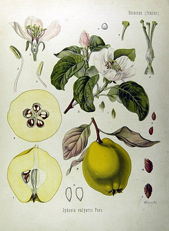 Quince cheese - The quince is a hard, golden yellow fruit. The fruit was known to the Akkadians, who called it supurgillu.