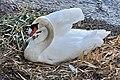 Cygnus olor (Küken) - Arboretum 2011-05-30 20-17-00.JPG