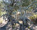 Cylindropuntia spinosior – Walkingstick Cactus - Flickr - gailhampshire.jpg