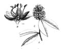 Cynometra spruceana Taub75a.png