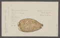 Cypraea cervina - - Print - Iconographia Zoologica - Special Collections University of Amsterdam - UBAINV0274 088 02 0008.tif