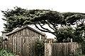 Cypress, Mendocino (3089667568).jpg