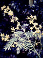 Cyrtopodium andersonii - infl 2.jpg
