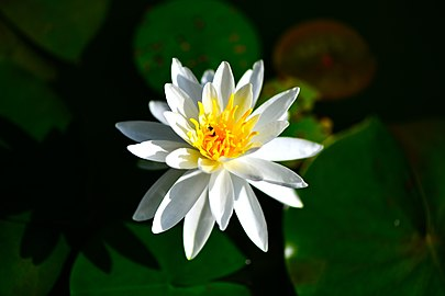 D85 3887 Lotus at National Park, Thailand Photographed by Trisorn Triboon.jpg