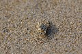 DGJ 0731 - Sand Crab (3382638079).jpg
