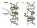 DNA UV mutation.svg
