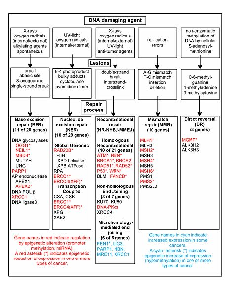 Hr Organizational Chart: DNA damage repair alteration of repair in cancer.jpg ,Chart