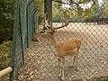 Daino del parco della preistoria 02.jpg
