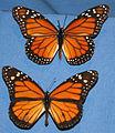 Danaus plexippus (monarch butterfly) 2 (17257279292).jpg