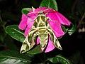 Daphnis nerii (Thailand, Nonthaburi, Bang Bua Thong, Soi Mu Ban Bua Thong, 26.i.2015) (D. Kruger) adult 2.jpg