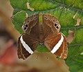 Dark Judy (Abisara fylla) at Samsing, Duars, West Bengal W IMG 6125.jpg