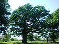 Daukša Oak, Kėdainiai - panoramio.jpg