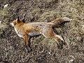 Dead Fox - geograph.org.uk - 393713.jpg