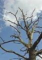 Dead oak near Stanford Hall - geograph.org.uk - 750209.jpg