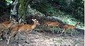 Deer Assam.jpg
