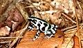Dendrobates auratus02.jpg
