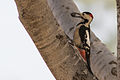 Dendrocopos syriacus Israel1.jpg