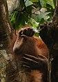 Detail of hand and foot of orangutan - Sepilok Sanctuary Center - Sabah - Borneo - Malaysia - panoramio.jpg