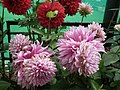 Dhalia from Lalbagh flower show Aug 2013 7930.JPG