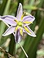 Dianella revoluta flower.jpg