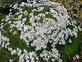 Dianthus arenarius 1.JPG