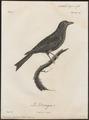 Dicrurus musicus - 1796-1808 - Print - Iconographia Zoologica - Special Collections University of Amsterdam - UBA01 IZ16400091.tif