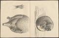 Didelphis virginiana - 1700-1880 - Print - Iconographia Zoologica - Special Collections University of Amsterdam - UBA01 IZ20300250.tif