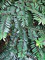 Diospyros seychellarum Sydney Botanic Gardens.jpg
