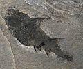 Diplacanthus striatus.jpg