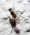 Diptera en Galiza.jpg