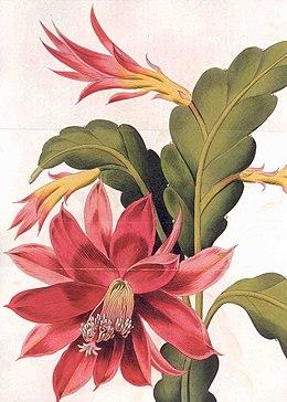 Disocactus ackermannii1