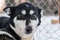 Dog head, Alaska 03.jpg