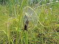 Dolomedes fimbriatus охотник каёмчатый.JPG