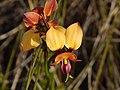 Donkey Orchid.jpg
